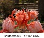 Flamingos At The Oklahoma City...