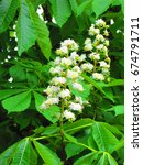 Small photo of flowers of horse chestnut, Aesculus hippocastanum