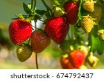 Strawberries Growing On A Bush...