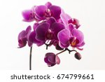 purple orchid isolated on white   Shutterstock . vector #674799661