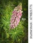 close up wild flowers lupine.... | Shutterstock . vector #674821771