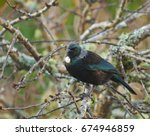new zealand native tui bird in... | Shutterstock . vector #674946859