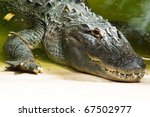 Close Up Of Crocodile Head...