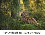 european lynx  lynx lynx ...   Shutterstock . vector #675077509