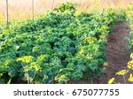 kale and green pea growing in... | Shutterstock . vector #675077755