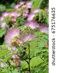 Small photo of Mimosa Albizia julibrissin foliage and flowers in the park