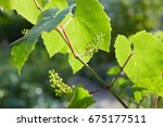 Baby Grapes. Closeup Of View I...