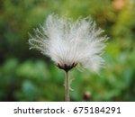 Small photo of Seed head of mountain avens or eight-petal mountain avens or white dryas or white dryad, (Dryas octopetala), Hortus Botanicus Amsterdam