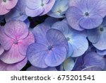 Close Up Of Hydrangea Flowers...