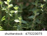 fresh green oregano herb