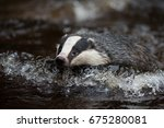 badger in forest creek.... | Shutterstock . vector #675280081
