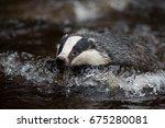 badger in forest creek.... | Shutterstock . vector #675280081