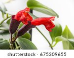 Small photo of Aeschynanthus radicans