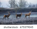 Three Red Deer  Cervus Elaphus...
