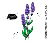 lavender drawing set. isolated... | Shutterstock . vector #675397537