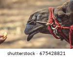 head of a camel with a red rope ...   Shutterstock . vector #675428821