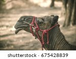 the head of a camel with a red...   Shutterstock . vector #675428839