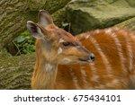A Young Female Nyala Antelope
