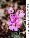 Small photo of African Violet (Saintpaulia hybrida) in greenhouse, Moscow region, Russia