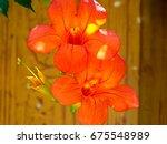 Chinese Trumpet Creeper Flower...