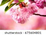 fresh pink flowers of sakura... | Shutterstock . vector #675604801