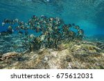 Small photo of A school of fish whitespotted surgeonfish, Acanthurus guttatus, underwater in the Pacific ocean, French Polynesia, Oceania
