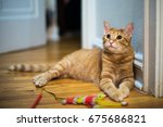 Cute  Orange Tabby Cat Looks...
