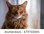 somali cat sunning in the... | Shutterstock . vector #675732001