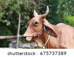 thai cow in the stable | Shutterstock . vector #675737389