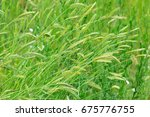 Small photo of Agropyron - perennial plant of the family Poaceae. Meadow plants, wild grass, forage, cereal grasses.