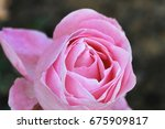 close up of a pink rose filling ... | Shutterstock . vector #675909817