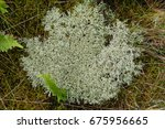 Small photo of Iceland moss (Cetraria islandica, Lichen islandicus) is a lichen (Lecanoromycetes, family: Parmeliaceae), growing all over the very small island Mandoe / Denmark.