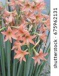 Small photo of Hippeastrum johnsonii Bury Amaryllidaceae Star Lily