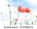 Red Poppy In A Meadow