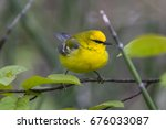 blue winged warbler during the... | Shutterstock . vector #676033087