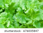 rows of fresh lettuce plants on ...   Shutterstock . vector #676035847