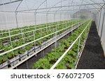 fresh melon plant in greenhouse | Shutterstock . vector #676072705
