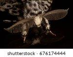 Black Arches  Lymantria Monacha ...
