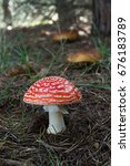 Small photo of Fly Amanita mushroom in the center, with background of pine forest and other mushrooms boletus