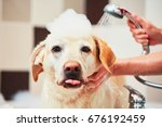 bathing of the yellow labrador... | Shutterstock . vector #676192459