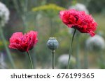 green poppy and red poppy... | Shutterstock . vector #676199365