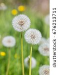 Two Dandelion Seed Heads With...