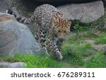 Jaguar Cub Is A Big Cat  A...