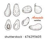 avocado varieties vector set....