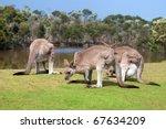 Group Of Kangaroos In Phillip...