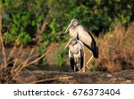 Asian Open Bill Stork Or...
