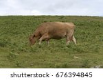 A Brown Cow Grazing On Dartmoo...