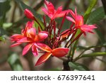 close up of pink frangipani... | Shutterstock . vector #676397641