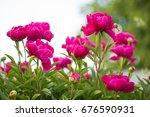 Beautiful Peony Flower Bush