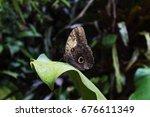 Caligo Memnon Butterfly In...